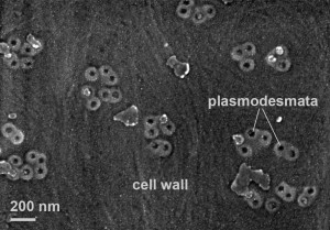 This is an electron micrograph showing plasmodesmata in a cell wall. Plasmodesmata function as channels or tunnels from one cell into another. In this way they connect almost all plant cells.